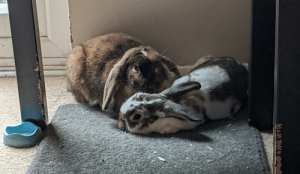 Two sleepy house bunnies after a hard morning of snoozing and eating kale: Two sleepy house bunnies after a hard morning of snoozing and eating kale
