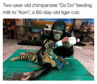 """Memes, Cubs, and Tiger: Two-year-old chimpanzee """"Do Do"""" feeding  milk to """"Aorn"""", a 60-day-old tiger cub This is all levels of amazing 😍"""