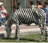 Donkey, Memes, and Black and White: Two zebras died of hunger in a zoo in Palestine and were replaced with donkeys painted with black and white stripes