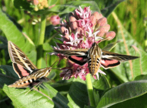 Beautiful, Facebook, and Family: typhlonectes:  The White-lined Sphinx Moths (Hyles lineata) are diurnal moths in the sphinx/hawkmoth family.  They are active moths and powerful flyers, known to produce body heat during long distance flights. They are seen here feeding on milkweed in the Northern United States. photograph via: Smithsonian -  National Conservation Training Center    When I first saw one of these it was at a nature preserve, and I'm not exaggerating I freaked out because it was so beautiful and I was convinced it was a bird/bee hybrid created in a lab.
