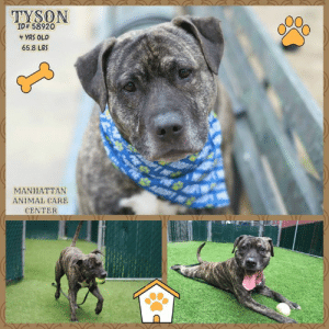 Tyson Id 58920 4 Yrs Old 658 Lbs Manhattan Animal Care