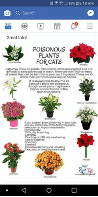 Excessive Drinking: u? ,ill 83% N 8:18 AM  Q Search  Great Info!  POISONOUS  PLANTS  FORCATS  Lly of the valle  Cats may chew on plants. Cats love to climb and explore and it is  difficult to keep plants out of reach. There are over 700 varieties  of plants that can be harmful to your cat if ingested. These are 10  of the most common ones kept in homes.  It is always wise to assume all  parts of a plant are poisonous  though some parts may have a  higher concentration of the  toxin than others.  Peace Lily Spathiphylum  If you suspect plant poisoning in your cats  and you notice any of the following signs  take your cat to your veterinarian  Kalanchoe immediately  Difficulty breathing  Lethargy  Drooling or difficulty swallowing  Loss of appetite  Vomiting  Diarrhea  Excessive drinking and urinating  Fast, slow, or irreqular heart beat  ristmas rose  Amaryl