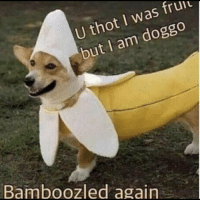 Memes, Thot, and 🤖: U thot I was fruu  but I am doggo  Bamboozled again https://t.co/i3bP3g2fIV