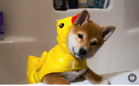 u thought it was ducky, but actualy is doge, bamboozled again: u thought it was ducky, but actualy is doge, bamboozled again