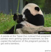 Sneaky Panda.: uber  facts  A panda at the Taipei Zoo noticed that pregnant  pandas were getting special treatment, so she  copied the behavior of the pregnant pandas to  get extra bamboo.  @UberFacts Sneaky Panda.