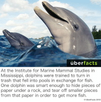 Facts, Memes, and Trash: uber  facts  At the Institute for Marine Mammal Studies in  Mississippi, dolphins Were trained to turn in  trash that fell into pools in exchange for fish.  One dolphin was smart enough to hide pieces of  paper under a rock, and tear off smaller pieces  from that paper in order to get more fish.  UberFacts 2015 Genius dolphin.   http://www.theguardian.com/science/2003/jul/03/research.science