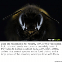 Beef, Beef, and Food: uber  facts  Bees are responsible for roughly 70% of the vegetables,  fruit, nuts and seeds we consume on a daily basis.  they were to become extinct, dairy, corn, beef, cotton,  coffee, rice, animal species, entire food chains, and a  large piece of the economy would go down with them  @UberFacts Save the bees. http://naturalsociety.com/list-of-foods-we-will-lose-if-we-dont-save-the-bees/