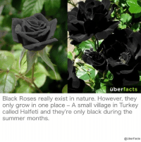 Beautiful, Facts, and Instagram: uber facts  Black Roses really exist in nature. However, they  only grow in one place A small village in Turkey  called Halfeti and they're only black during the  summer months.  @UberFacts Beautiful. https://www.instagram.com/uberfacts/