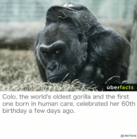 http://www.voanews.com/a/colo-worlds-oldest-gorilla-turns-sixty/3647303.html: uber  facts  Colo, the world's oldest gorilla and the first  one born in human care, celebrated her 60th  birthday a few days ago.  @UberFacts http://www.voanews.com/a/colo-worlds-oldest-gorilla-turns-sixty/3647303.html