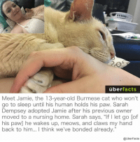 "😻😻😻: uber  facts  Meet Jamie, the 13-year-old Burmese cat who won't  go to sleep until his human holds his paw. Sarah  Dempsey adopted Jamie after his previous owner  moved to a nursing home. Sarah says, ""If l let go [of  his paw] he wakes up, meows, and claws my hand  back to him... think we've bonded already.""  @UberFacts 😻😻😻"