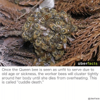 "Bodies , Facts, and Memes: uber  facts  Once the Queen bee is seen as unfit to serve due to  old age or sickness, the worker bees will cluster tightly  around her body until she dies trom overheating. his  is called ""cuddle death.""  @UberFacts Intense."