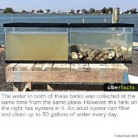Wow.: uber  facts  The water in both of these tanks was collected at the  same time from the same place. However, the tank on  the right has oysters in it. An adult oyster can filter  and clean up to 50 gallons of water every day.  UberFacts 2016 Wow.