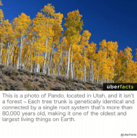 Nature is amazing.: uber  facts  This is a photo of Pando, located in Utah, and it isn't  a forest Each tree trunk is genetically identical and  connected by a single root system that's more than  80,000 years old, making it one of the oldest and  largest living things on Earth  @UberFacts Nature is amazing.