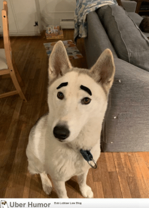 failnation:  I have some fake mustaches and a white husky.: Uber Humor  Bob Loblaw Law Blog failnation:  I have some fake mustaches and a white husky.
