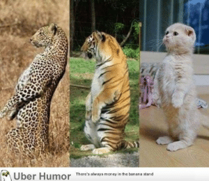 failnation:  Cats are all the same no matter the size: Uber Humor  There's always money in the banana stand failnation:  Cats are all the same no matter the size