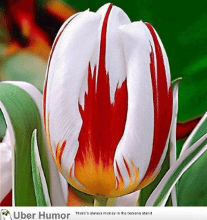 omg-images:  The Netherlands bred this Tulip to look like the Canadian Flag: Uber Humor There's always moneyin the banana stand omg-images:  The Netherlands bred this Tulip to look like the Canadian Flag