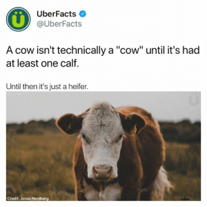 "Memes, Http, and Stuff: UberFacts  @UberFacts  A cow isn't technically a ""cow"" until it's had  at least one calf.  Until then it's just a heifer.  Credit: Jonas Nordberg Moo 🐮  Grab some UberFacts stuff here -> http://shopuberfacts.com"