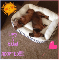 We love when happy stories happen! Someone a volunteer works with was interested in dachshund! It just happened that Lucy and Ethel 💜💜 a bonded sister pair 💜💜 came to Associated Humane Tinton Falls!  She told her colleague about them and guess what - the girls are now adopted!!!!!!!!  Yay!!! Congrats to the family - thank you for keeping these girls together!!!! #bondedsisters #lucyandethel   #rescueyourbestfriendS 💜: uc  Ethel  ADOPTED! We love when happy stories happen! Someone a volunteer works with was interested in dachshund! It just happened that Lucy and Ethel 💜💜 a bonded sister pair 💜💜 came to Associated Humane Tinton Falls!  She told her colleague about them and guess what - the girls are now adopted!!!!!!!!  Yay!!! Congrats to the family - thank you for keeping these girls together!!!! #bondedsisters #lucyandethel   #rescueyourbestfriendS 💜