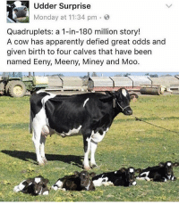 Apparently, Funny, and Vagina: Udder surprise  Monday at 11:34 pm  Quadruplets: a 1-in-180 million story!  A cow has apparently defied great odds and  given birth to four calves that have been  named Eeny, Meeny, Miney and Moo @cabbagecatmemes makes my vagina go mooo