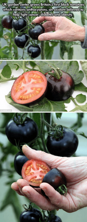 Tumblr, Black, and Blog: UK garden center grows Britain{s first black tomatoes  which contains anthocyanins,  help fight cancer, diabetes and obesity  an oxidant believed to  O SWNS.com  SWNS.com lolzandtrollz:  Black Tomatoes