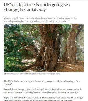"scots-dragon: vulgarweed:  slumberprince:  if this 5000 year old tree isn't too old to realize that its trans neither are you  reblog if you support transgender Ents.  TransgENTer : UK's oldest tree is undergoing sex  change, botanists say  The Fortingall Yew in Perthshire has always been recorded as male but has  started sprouting berries-something only female yew trees do  The Fortingall Yew is thought to be up to 5,000 years old Photograph: Alamy  The UK's oldest tree, thought to be up to 5,000 years old, is undergoing a ""sex  change""  Records have always noted the Fortingall Yew in Perthshire as a male tree but it  has recently started sprouting berries - something only female yew trees do.  Experts at the Royal Botanic Garden in Edinburgh spotted three berries on a high  branch off the trae located in the churchvard of tho village of Fortinaall scots-dragon: vulgarweed:  slumberprince:  if this 5000 year old tree isn't too old to realize that its trans neither are you  reblog if you support transgender Ents.  TransgENTer"