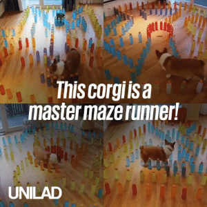 This corgi is an expert maze runner and he loves nothing more than a new challenge 😍: ul  This corgiisa  master maze runner!  UNILAD This corgi is an expert maze runner and he loves nothing more than a new challenge 😍