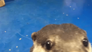 ultimate-fandom-freak:  m–ood: Otter teaches human how to pet him. Words cannot describe the inhuman noise i made, help me : ultimate-fandom-freak:  m–ood: Otter teaches human how to pet him. Words cannot describe the inhuman noise i made, help me