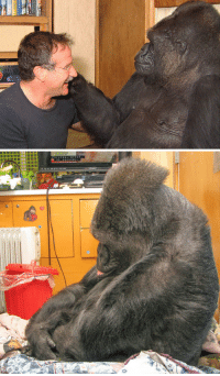 """Crying, Energy, and Funny: UN  Koko the gorilla is a resident at the Gorilla Foundation in Woodside, CA and communicates understands spoken english and uses over 1,000 signs to share her feelings and thoughts on daily life. After the first call about Robin's passing, Koko came to Dr. Patterson with an inquiring look on her face. Dr. Patterson explained that 'we have lost a dear friend, Robin Williams.Koko was quiet and looked very thoughtful,Koko signed the words for """"woman"""" and """"crying.""""Koko became very somber, with her head bowed and her lip quivering; she was crying over the loss of her friend.   Robin made Koko smile — something she hadn't done for over six months, ever since her childhood gorilla companion, Michael, passed away.Not only did Robin cheer up Koko, the effect was mutual, and Robin seemed transformed — from a high-energy entertainer, into a mellow, sensitive, empathetic guy, who also happened to be really funny. -Dr. Patterson [x]"""