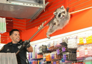 unamusedsloth: NYPD escorting a raccoon out of a beauty salon : unamusedsloth: NYPD escorting a raccoon out of a beauty salon