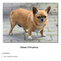 - Pip: unclee father:  he is doing his best  Obese Chihuahua - Pip
