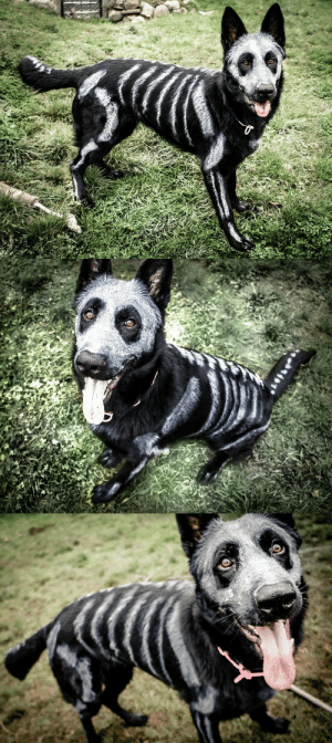 undeceased:German Shepherd Dog painted in time for Halloween. (x): undeceased:German Shepherd Dog painted in time for Halloween. (x)