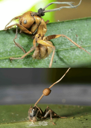 "Gif, Head, and Tumblr: unexplained-events:  unexplained-events:Ophiocordyceps unilateralis is an entomopathogenic (it acts as a parasite and can kill or disable the host) fungus. It is known as the mind controlling fungi and in the 1st picture it can be seen growing out the head of a ""zombie"" ant in the Brazilian forest. It can control the behavioral patterns of the host it has attached onto. It takes control of an ant so it can move to an ideal location for the fungi to grow and spread its spores, after that it kills the ant."
