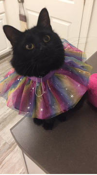unflatteringcatselfies:Marco likes to put his head in things(like this build a bear skirt).: unflatteringcatselfies:Marco likes to put his head in things(like this build a bear skirt).