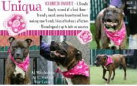 """Beautiful, Click, and Cute: Uni  30678-3  years old  55 lbs  VOLUNTEER FAVORITE-A Brindle  Beauty in need of a Good Home  Friendly, social, seems housetrained, loves  making new friends, likes attention affection  Microchipped s up to date on vaccines  At Manhattan  ACC waiting  for Love ****TO BE KILLED - 6/16/2018 ****  VOLUNTEER FAVORITE, UNIQUA, IS OUT OF TIME AT THE MANHATTAN SHELTER :( A Volunteer Wrote: We're crushing on this brindle beauty, who waits patiently in her kennel for a walk, despite appearing housetrained. """"Oh she is sooo cute!"""" about sums up the many refrains directed towards her while we walked her and snuggled with her on a bench. She's so eager to make human friends, jumping onto any lap available, constantly wagging her tail with the good nature she exudes. Beautiful, kind, with a lovely energy, Uniqua is a dear companion eager to make her forever BFF.  UNIQUA@MANHATTAN ACC Hello, my name is Uniqua My animal id is #30678 I am a female brown brindle dog at the  Manhattan Animal Care Center The shelter thinks I am about 3 years old, 55 lbs Came into shelter as agency June 9, 2018 Uniqua is rated Experience   Uniqua is at risk for behavior reasons. Uniqua displays increasingly concerning levels of dog reactivity and kennel frustration at the care center. Medically, we have no concerns for Uniqua, who presents as a healthy dog.  My medical notes are... Weight: 55.375 lbs Vet Notes 9/06/2018 [DVM Intake] DVM Intake Exam Estimated age: 3  Microchip noted on Intake? n  Microchip Number (If Applicable): n  History : Stray Subjective: BARH Observed Behavior - excited, vocalizing, allowed a full PE Evidence of Cruelty seen -n Evidence of Trauma seen -n Objective  T = - P = wnl R = wnl BCS = 6/9 EENT: Eyes clear, ears clean, no nasal or ocular discharge noted Oral Exam: teeth in good cond PLN: No enlargements noted H/L: NSR, NMA, CRT < 2, Lungs clear, eupnic ABD: Non painful, no masses palpated U/G: INTACT - mammary glands developed and lactating  MSI: """