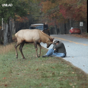 This photographer did an amazing job by staying calm as a young elk apprached him and started to attack... 😱🦌: UNILAD  15  NEWSFLARE This photographer did an amazing job by staying calm as a young elk apprached him and started to attack... 😱🦌