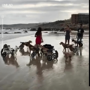 These disabled dogs loving their time at the beach will melt your heart 😍🙌: UNILAD  ANIMALSANCTUARY TANGIER These disabled dogs loving their time at the beach will melt your heart 😍🙌
