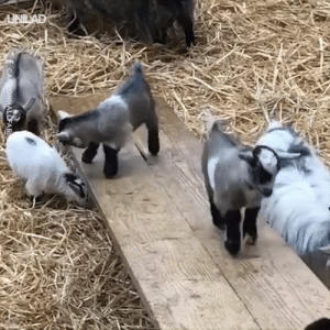 """""""I could never work on this farm because all I would do is watch these baby goats sliding all day"""" 😍🐐  Cannon Hall Farm: UNILAD  CANNONHALLFAR """"I could never work on this farm because all I would do is watch these baby goats sliding all day"""" 😍🐐  Cannon Hall Farm"""