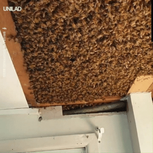 Watch these experts remove this beehive in this ceiling that contains over 60,000 bees! 🐝🍯: UNILAD  f BRISPANE BACKYARD BEES Watch these experts remove this beehive in this ceiling that contains over 60,000 bees! 🐝🍯
