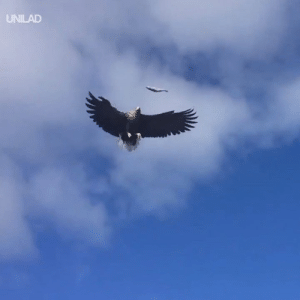 Dank, Eagle, and Fish: UNILAD Feeding an a fish to an eagle mid-flight... What a catch! 😲🦅