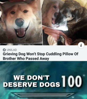 Crying, Dogs, and Dog: UNILAD  Grieving Dog Won't Stop Cuddling Pillow Of  Brother Who Passed Away  WE DON'T  DESERVE DOGS no you're crying