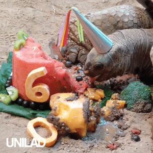 Henry the tortoise celebrating his 60th birthday with some watermelon cake! 😍🐢: UNILAD Henry the tortoise celebrating his 60th birthday with some watermelon cake! 😍🐢