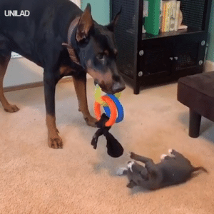 Dank, Big Brother, and Patient: UNILAD 'He's been such a patient big brother with our new pup...' 😍😍
