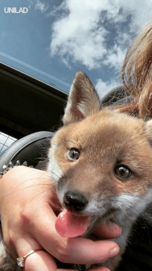 "Dank, Baby, and 🤖: UNILAD ""I rescued this baby fox last night after her mother was killed on a busy road"" 😩❤️️"