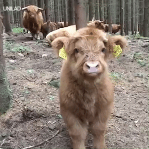 Dank, Hello, and 🤖: UNILAD Just a friendly Highland calf stopping by to say hello 😍👋  CONTENTbible