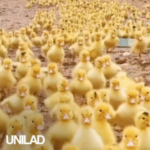 Dank, Army, and 🤖: UNILAD Just a guy and his 5000 duckling army going for a waddle down a pond 😂🦆