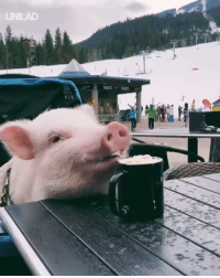 Dank, Chocolate, and 🤖: UNILAD Just a pig enjoying a hot chocolate by the slopes 😍🐷