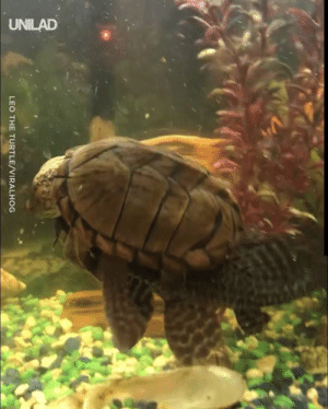 """Our new turtle keeps on trying to ride one of our fish..."" 🐠🐢: UNILAD  LEO THE TURTLE/VIRALHOG ""Our new turtle keeps on trying to ride one of our fish..."" 🐠🐢"