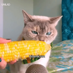 ASMR cat eating sweetcorn is everything I need right now...😍😂: UNILAD  LilyandLunz ASMR cat eating sweetcorn is everything I need right now...😍😂