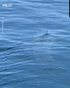 """JAWS EXISTS!""  It's thought that this incredible footage, captured by Chris Cantillo, is one of the biggest great white sharks on the planet!: UNILAD  MISTERJVILLE ""JAWS EXISTS!""  It's thought that this incredible footage, captured by Chris Cantillo, is one of the biggest great white sharks on the planet!"