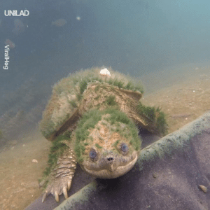 Just an elderly snapping turtle coming to say hello 👋: UNILAD  ni Just an elderly snapping turtle coming to say hello 👋